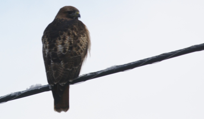 Red-tailed Hawk 010