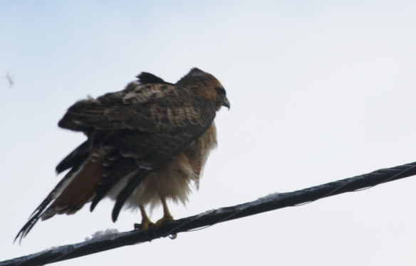 Red-tailed Hawk 014