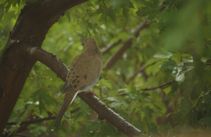 Mourning Dove 005