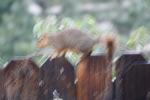 Squirrel rainy day shots 030