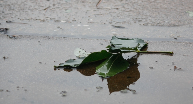 Leaves in puddle 040