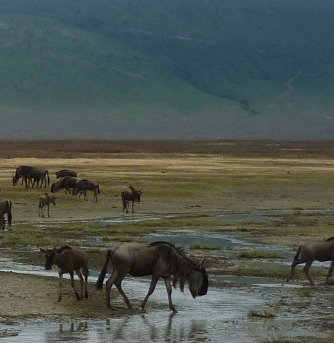 Wildebeest at a river in Ngorongoro Conservation Area, Tanzania (OpenImageBank.com)