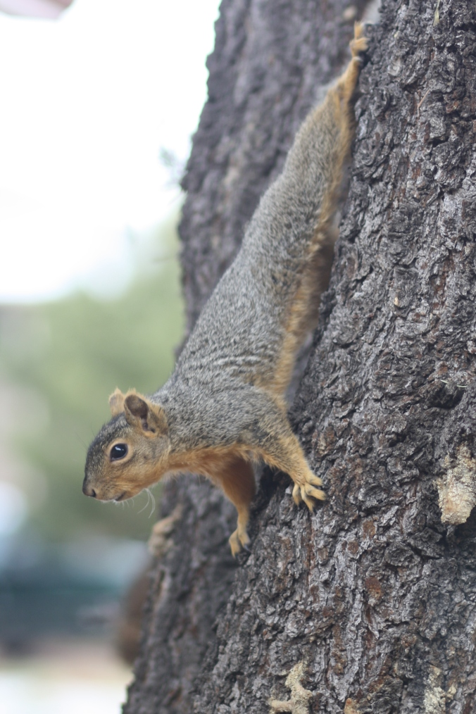Squirrel courting cats 013