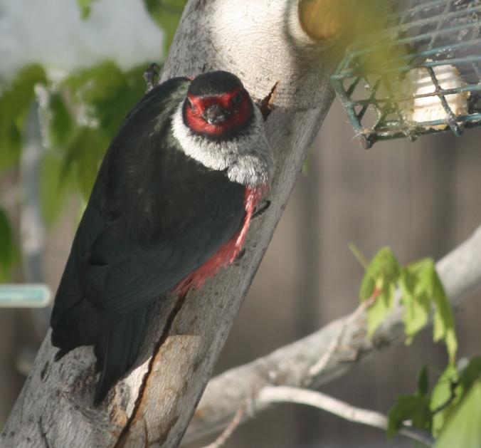 Lewis's Woodpecker 001