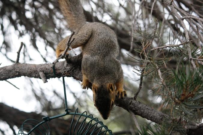 squirrel in peanut feeder 031