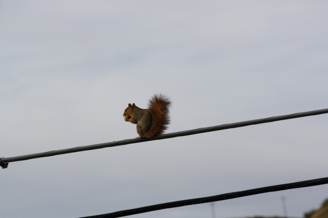 Squirrel on wire 015
