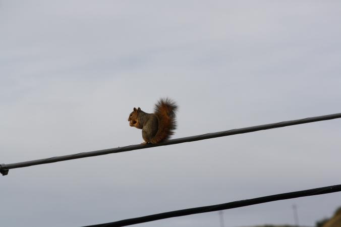 Squirrel on wire 015