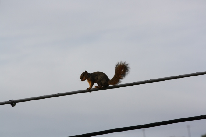 Squirrel on wire 016