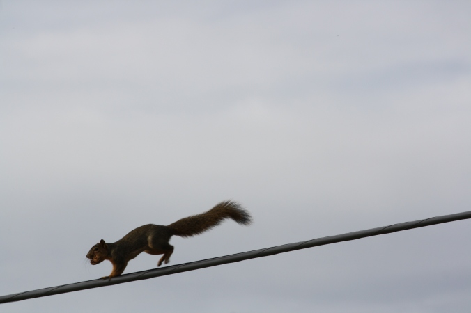 Squirrel on wire 017