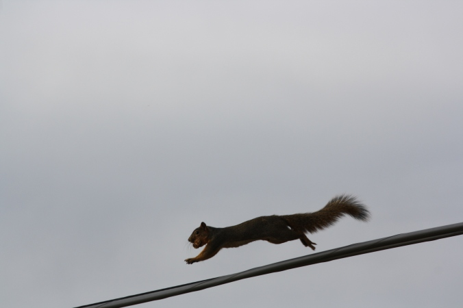 Squirrel on wire 018