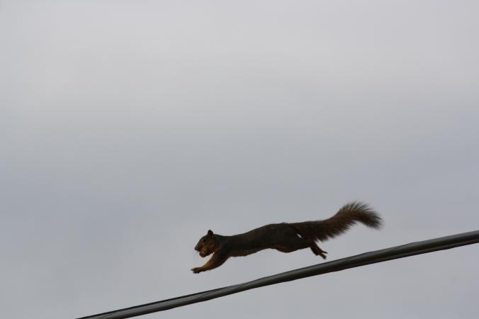 Squirrel on wire 018