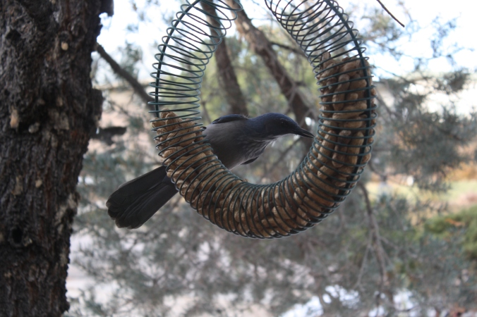 More jays in peanut feeder 002