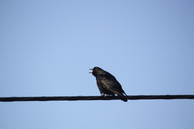 Crows and Magpie 012