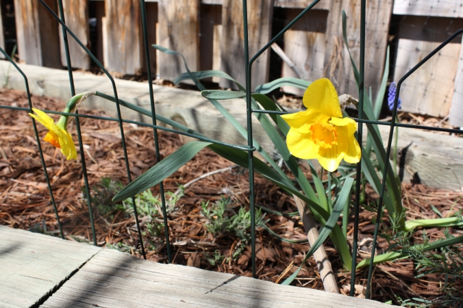 Daffodils after blizzard