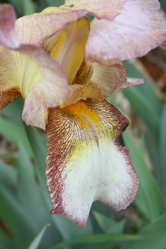 Cream Iris