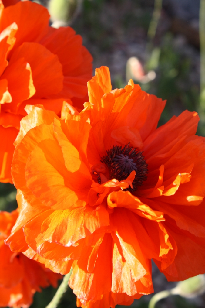 Happy poppies one day in May.