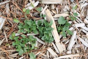 Unwelcome plant aka WEED.