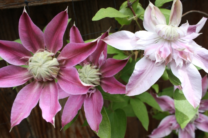 Double-blooming clematis from my garden.