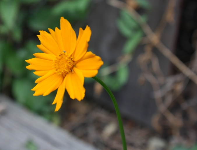 The last blooming coreopsis in my garden.