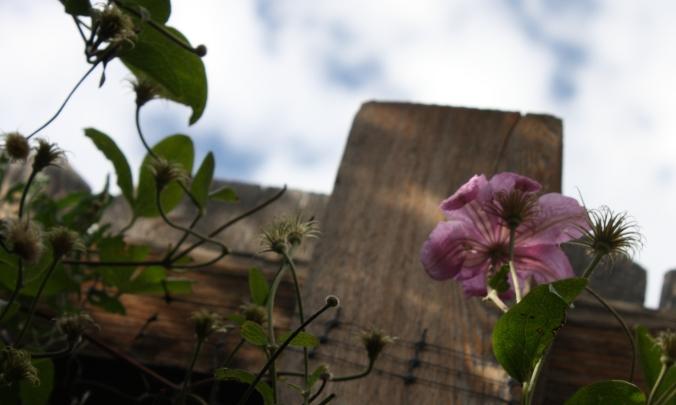 The season's last clematis bloom.