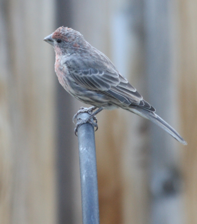 House Finch perched on top of feeder pole.