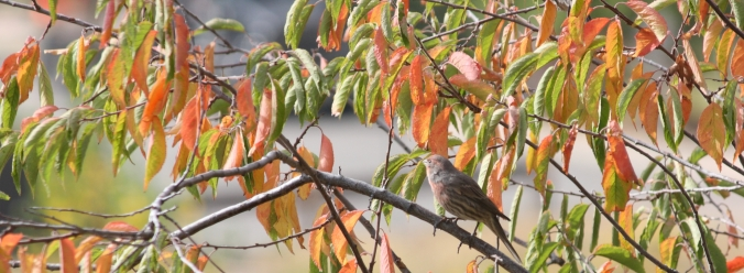 house-finch-in-plum-bush