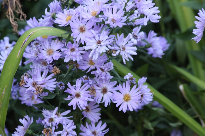 Asters take up a lot of garden bed real estate and don't bloom for a very long time, but when they do, they are lovely.