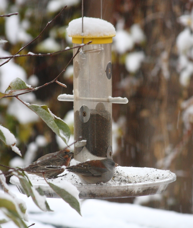 finch-and-junco