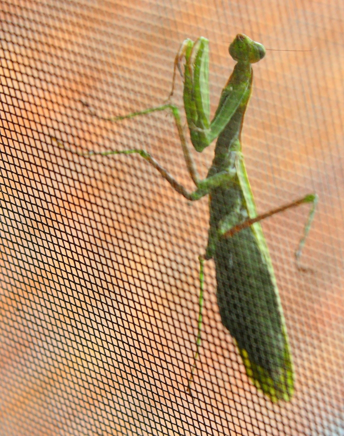 praying-mantis-on-screen