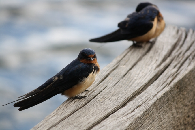 cliff-swallows
