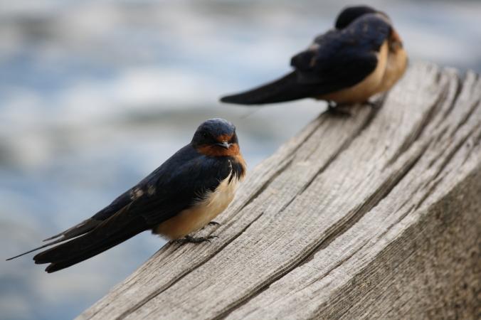 cliff-swallows