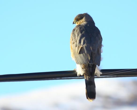 Cooper's Hawk. Photo by Zippy.