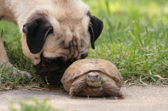 In which Linda is the pug offering encouragement to the tortoise-slow Tracy.