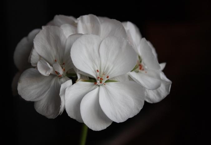 geranium-bloom