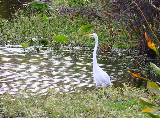 Great Egret at Kapok Park, October 2016