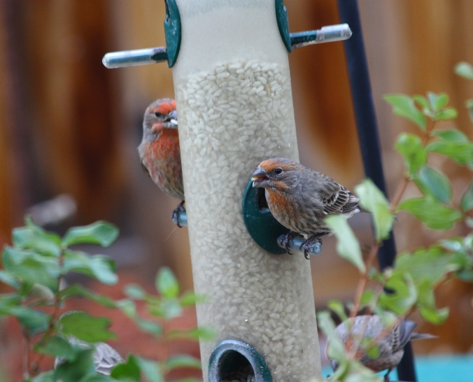 house-finch-feeding