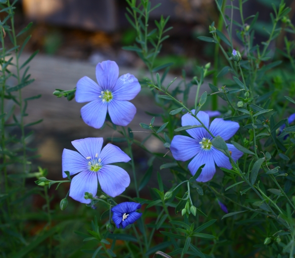 flax-blooms