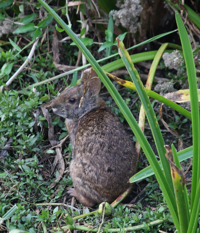 marsh-rabbit