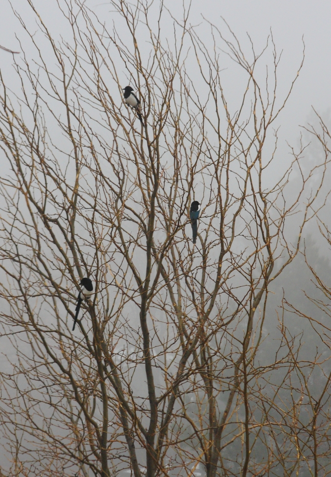 three-magpies