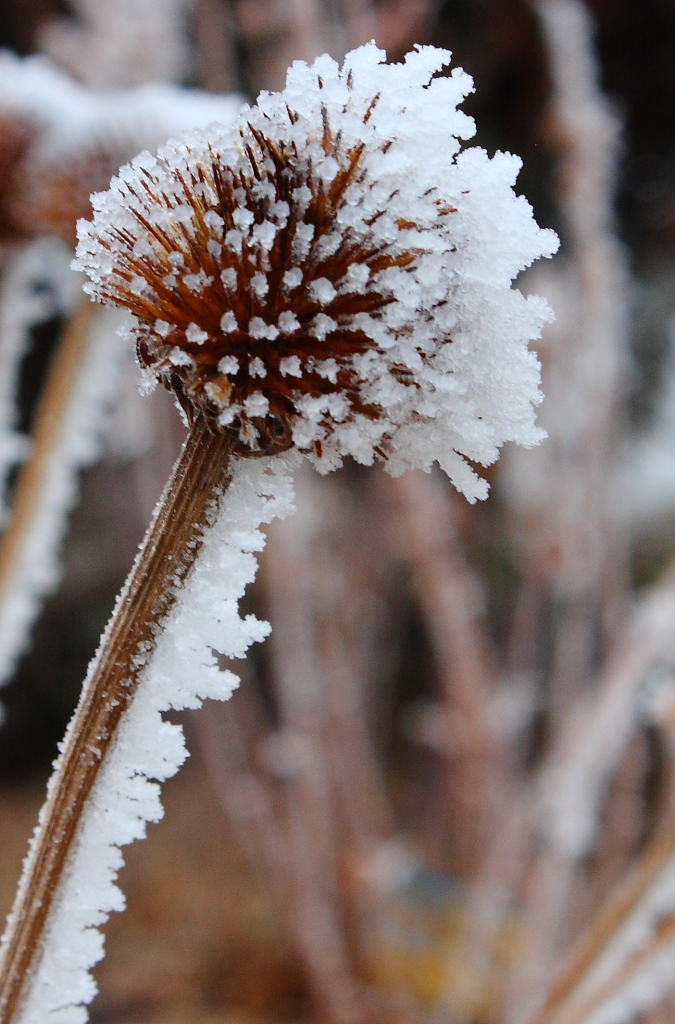 frosted-coneflower