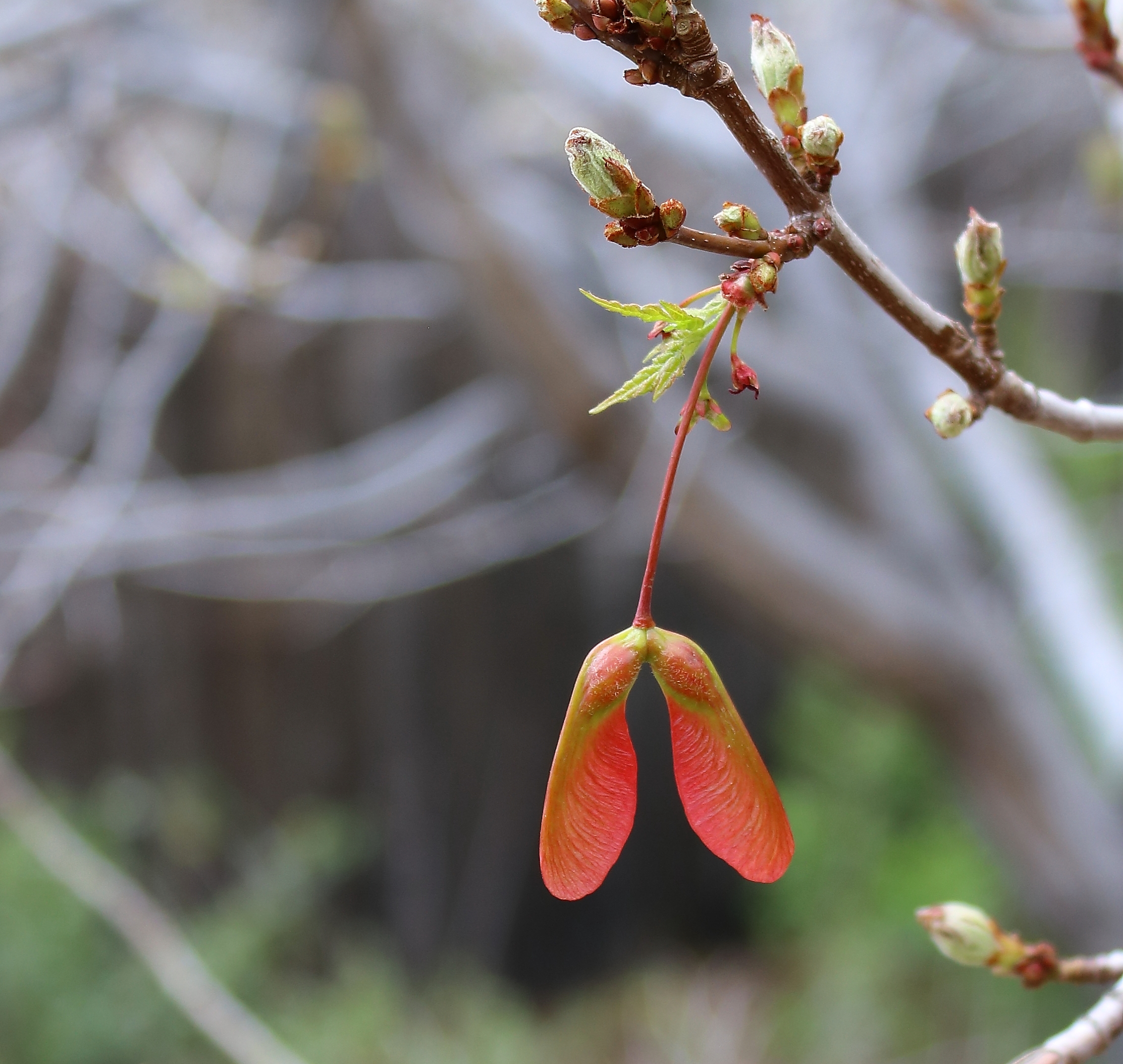 Maple seed pods: Propagators or Helicopters? | Tracy Abell